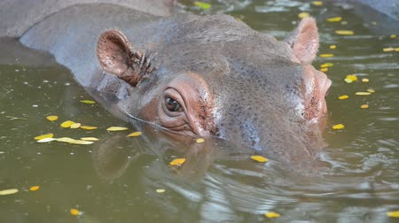 hippo : hippopotamus in the river Stock Footage