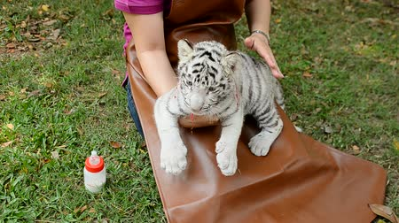 bottle feeding : zookeeper feeding baby white tiger
