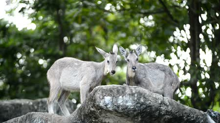 horned : goral standing on the rock Stock Footage