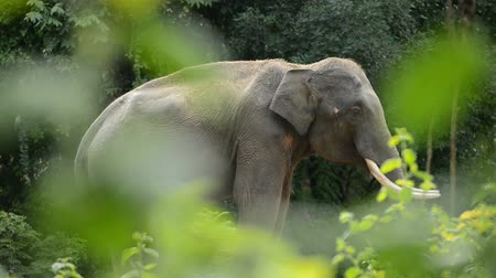 endangered species : asia elephant in tropical forest