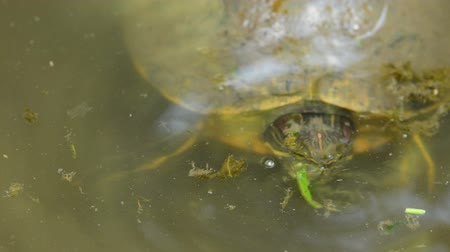 red bellied : Red-bellied turtle eating in pond Stock Footage