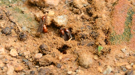 subterranean : subterranean ant come out from underground colony