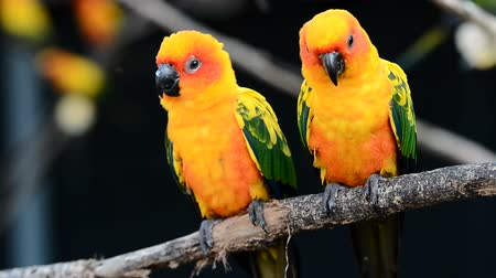 papagaio : sun conure parrot bird Stock Footage
