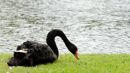 gryf : black swan in park Wideo