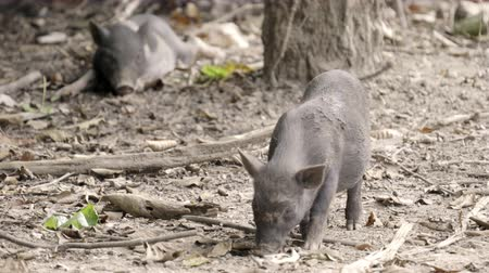 piglet : asian wild boar Stock Footage