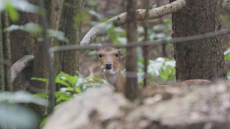 лань : sika deer in forest Стоковые видеозаписи