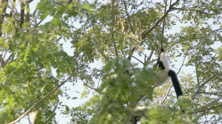 black and white ruffed lemur on trees