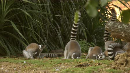 afrika : group of ring tailed lemur
