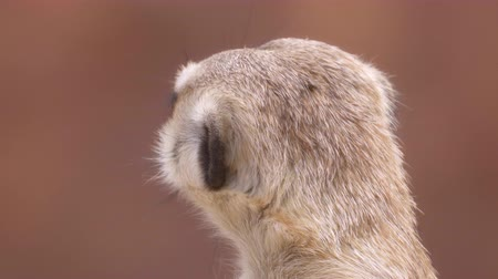 meerkat head close up