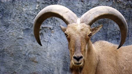 Barbary sheep ( Ammotragus lervia ) standing on rocky mountains