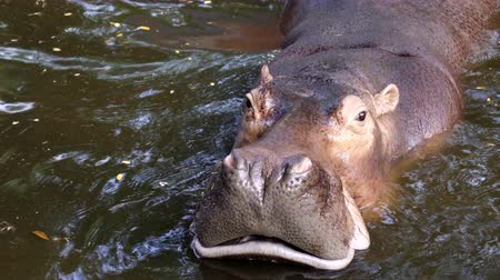 hippopotamus in the river Stock mozgókép