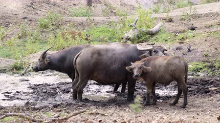 group of water buffalo in thailand countryside