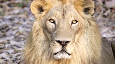 juba : male lion face close up Stock Footage