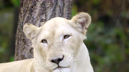 female white lion face close up Stock mozgókép