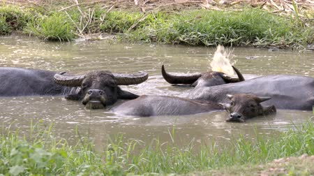 water buffalo in mud pond