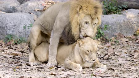 couple of lions having sex