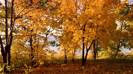 panoramic view of autumn park, yellow leaves on trees Dostupné videozáznamy