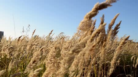 cereais : the spike of wild grass swings in the wind, the dry autumn grass in the field swings in the wind