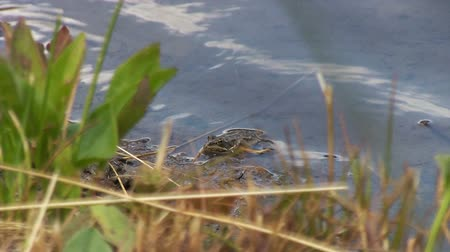 anfíbio : Frog in the lake. He pursues a beetle or a fly. Hunts. Eats an insect.