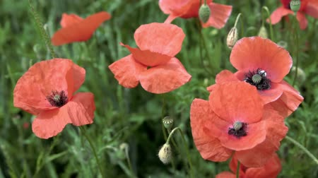 red poppies on the field, big flowers, slow motion Stock Footage