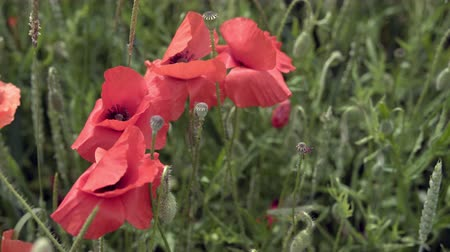 red poppies on the field, big flowers. Stock Footage