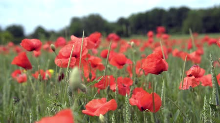 haşhaş : red poppies on the field, big flowers. Stok Video