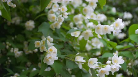 yasemin : Jasmine flowers in Sunny weather. Stok Video
