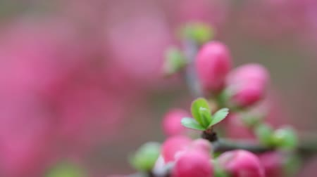 Spring flowers with pink blossom, focus changing