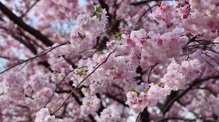 Spring flowers with pink blossom on blue sky