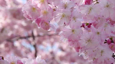 Spring flowers with pink blossom in wind