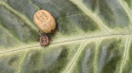lyme disease : A blood-filled tick crawling on a green leaf Stock Footage