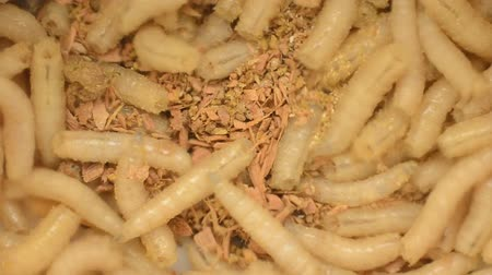 Larva of a meat fly in sawdust, closeup Stock Footage