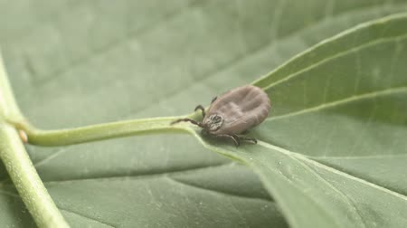 lyme disease : The tick crawls along the green leaf Stock Footage