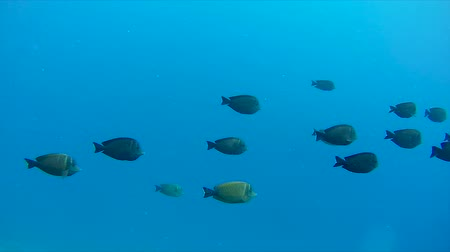yüzgeçler : A school of fish swims in the red sea Stok Video