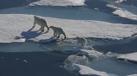 ártico : White bear with two cubs goes on the ice floes in the Arctic ocean
