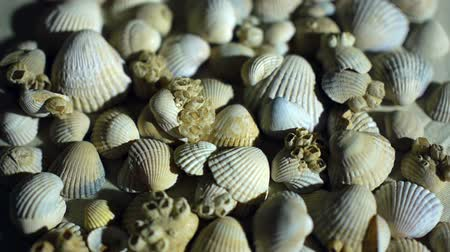 měkkýšů : Little, beautiful sea shells with sand and back light, rotation, on black background.