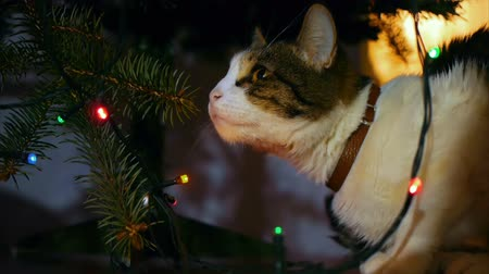 kotě : Cute cat playing with ornament on Christmas tree. Dostupné videozáznamy