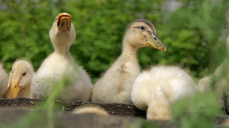 ducky : Ducklings walking through the grass drinking water, play eating grass sunny day basking in the sun quacking bright juicy green grass nature pets interesting bird duck geese chickens Stock Footage