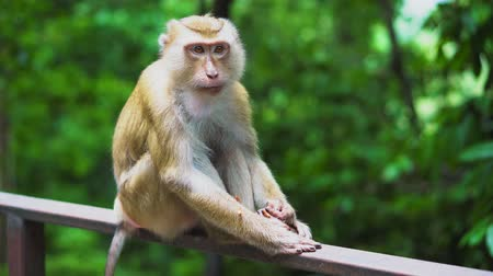 south asian food : a wild monkey sits on the railing in the park. the natural habitat of animals.
