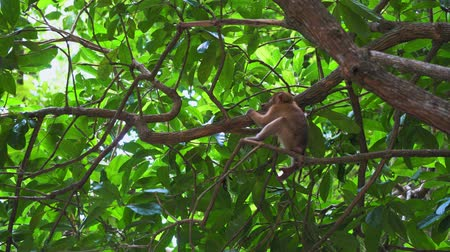 endangered species : the monkey sits on a tree branch in the jungle. tropical forest of asia.
