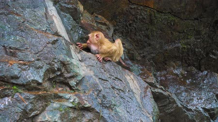 macaca fascicularis : a monkey on a rocky rock. tropical forest with monkeys. natural habitat