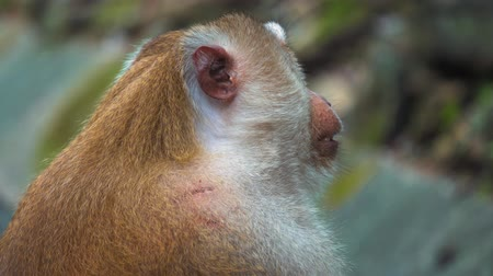 macaca fascicularis : portrait of a monkey, large face. monkey sitting and looking at the camera