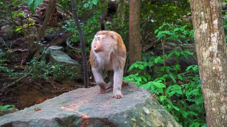 невозделанный : Monkey on a rock in the tropical forest of Asia. mountain of monkeys, sacred animals.