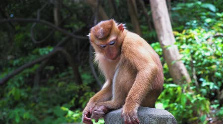 borneo : monkey in the forest sits on a rock and looks around Stock Footage