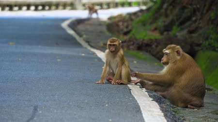 primates : monkey is sitting on the road in the park. Asia, tropical forest, national park.