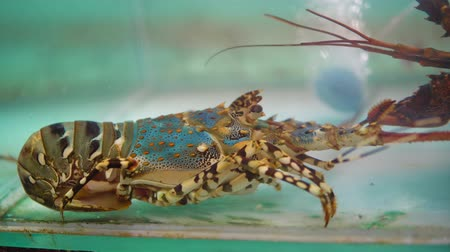 для продажи : Spiny lobster in the fish tank for sale, fresh seafood at market place Стоковые видеозаписи