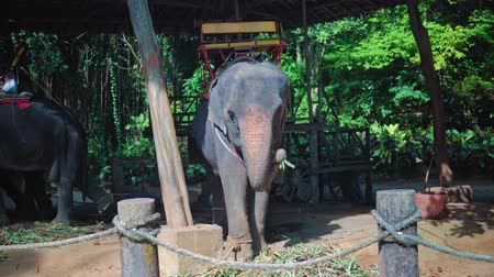 тростник : Elephant eating cane and having rest after riding in the jungle Стоковые видеозаписи