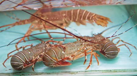 krewetki : Close-up fresh spiny lobsters in clean water aquarium at seafood market