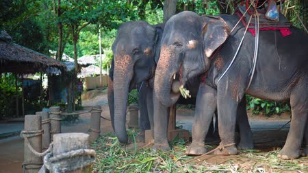 pień : Elephants for safari eating cane leaves at farm in the jungle