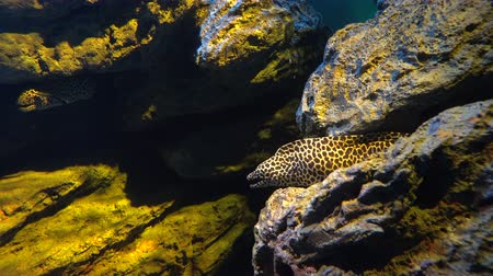 sivilceli : Spotty moray eel, Gymnothorax favagineus hiding between rocks in an aquarium